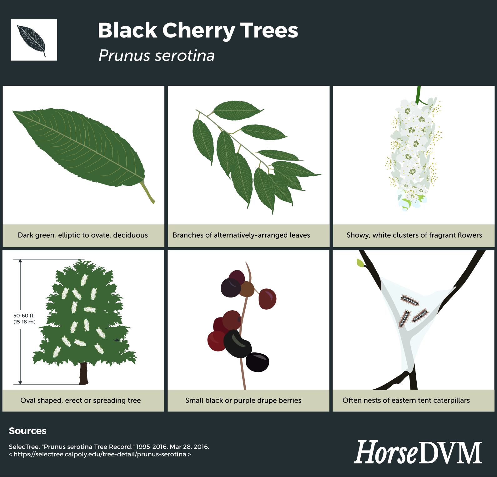 Black cherry tree identification infographic