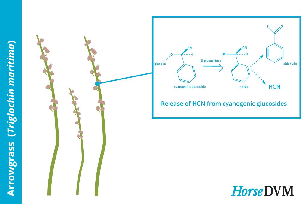 Arrowgrass toxic components horse