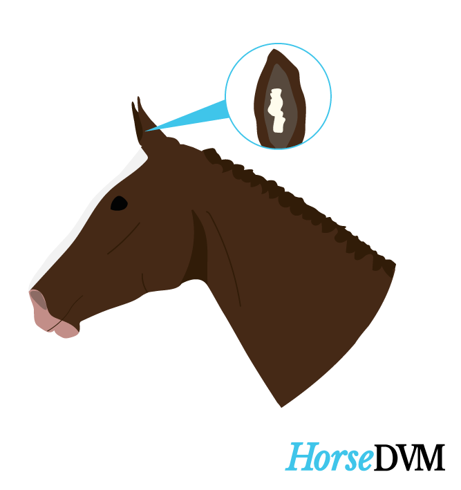 Aural Plaque location on horses