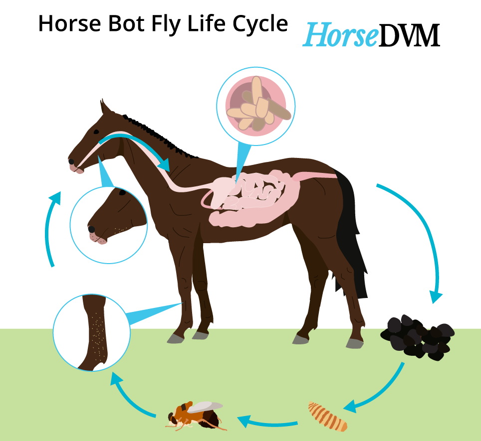 Horse botfly lifecycle