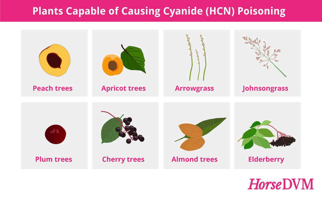 Plants Capable of Causing Cyanide Poisoning in Horses