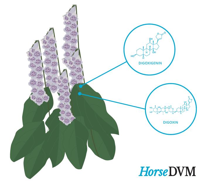 Foxglove toxic components horses