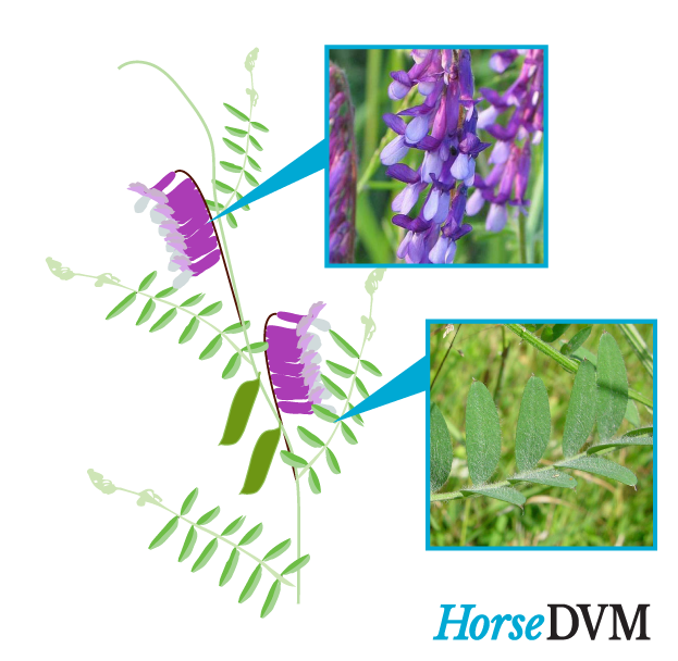 Hairy vetch horse toxicity