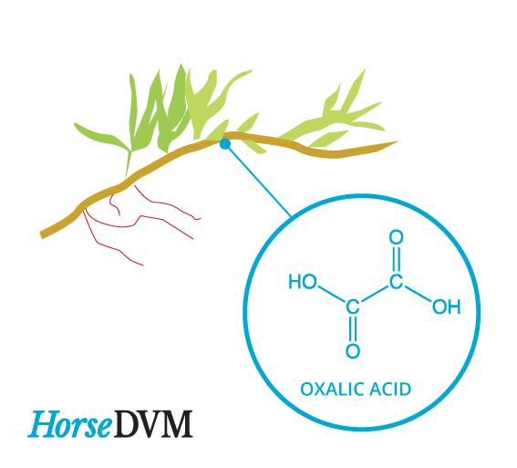 Kikuyu grass toxic horses