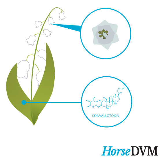 Lily of the Valley toxic components