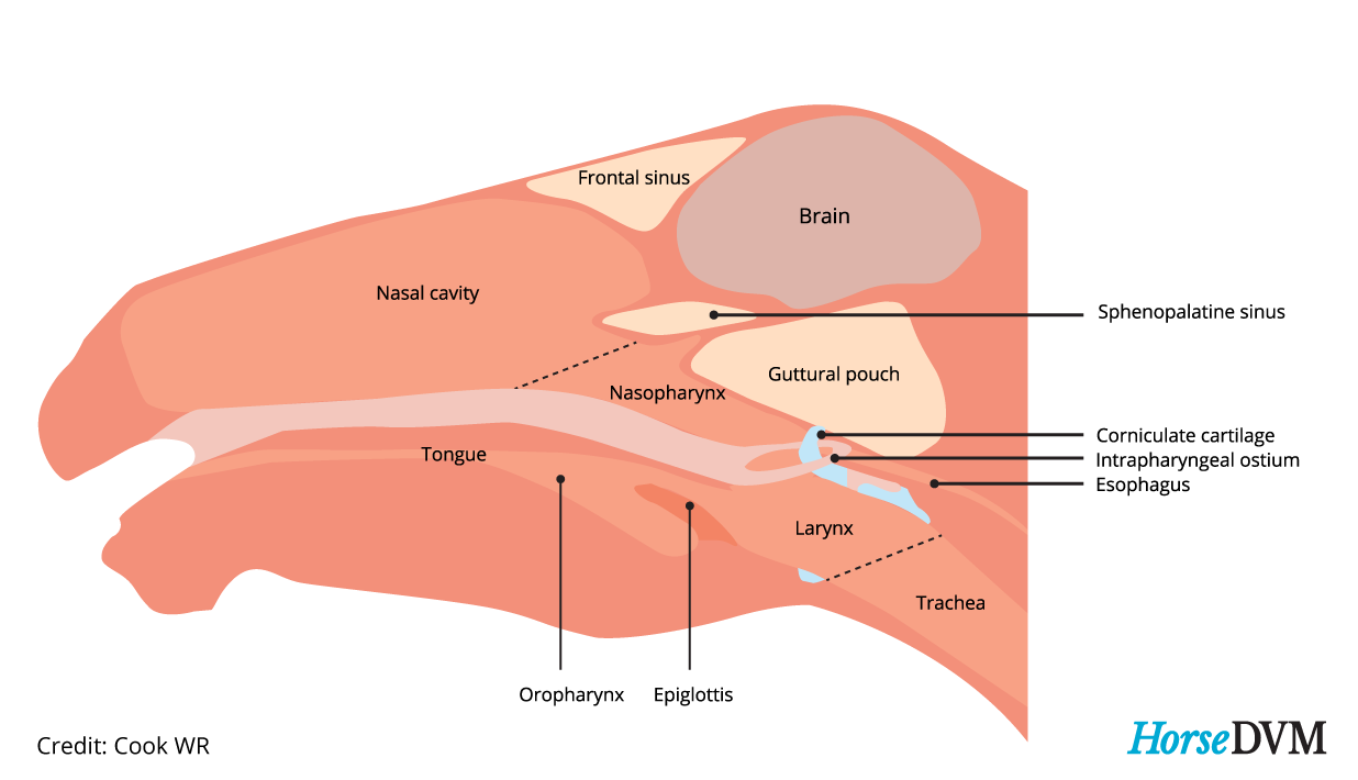 Location of horses guttural pouch
