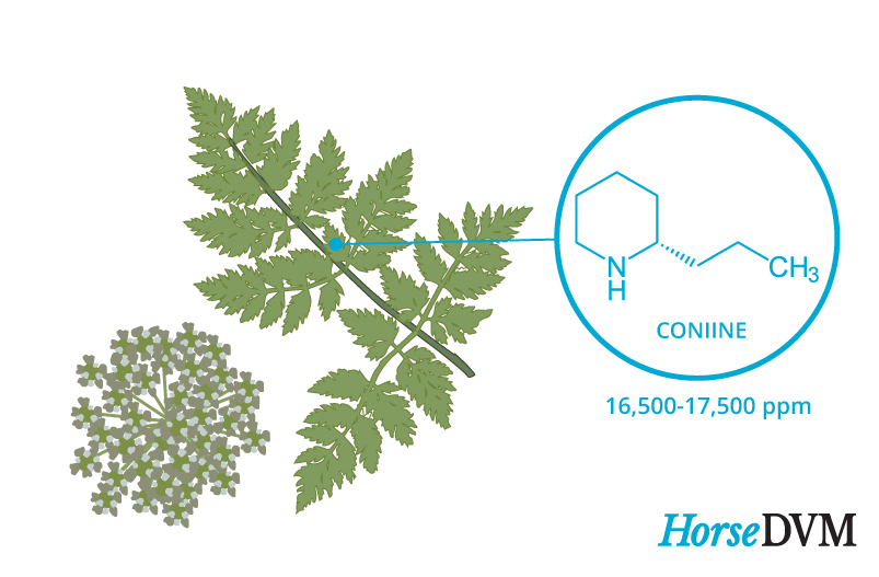 Poison hemlock toxic components