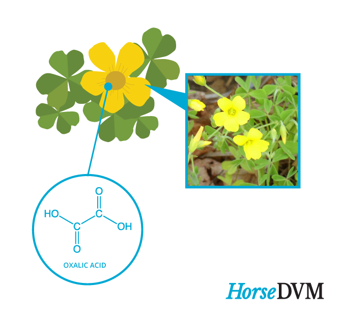 Yellow woodsorrel horses