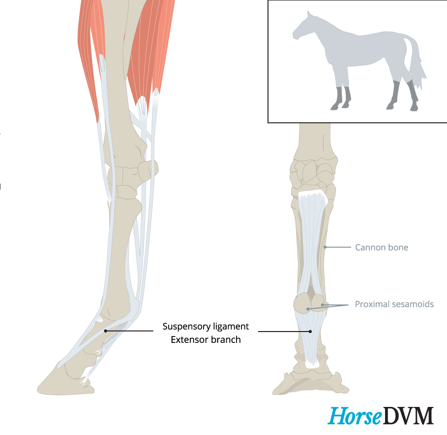 Location of suspensory ligament branch
