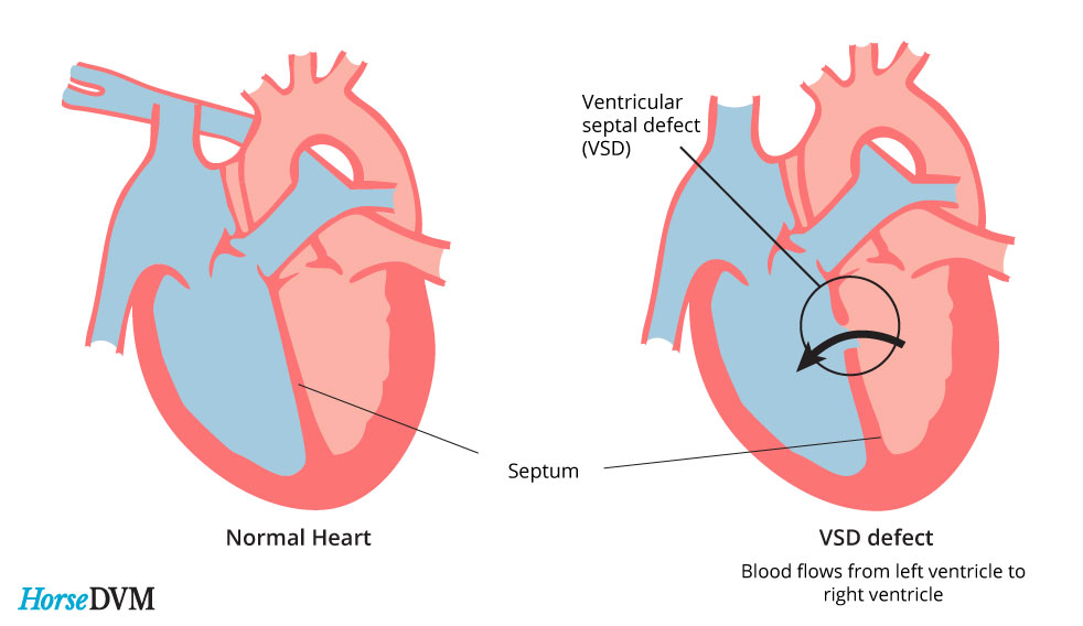 Ventricular septal defect horses