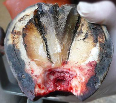 PHOTO CREDIT: Equine Hoof Anatomy