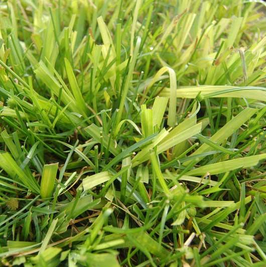 Bahiagrass  image