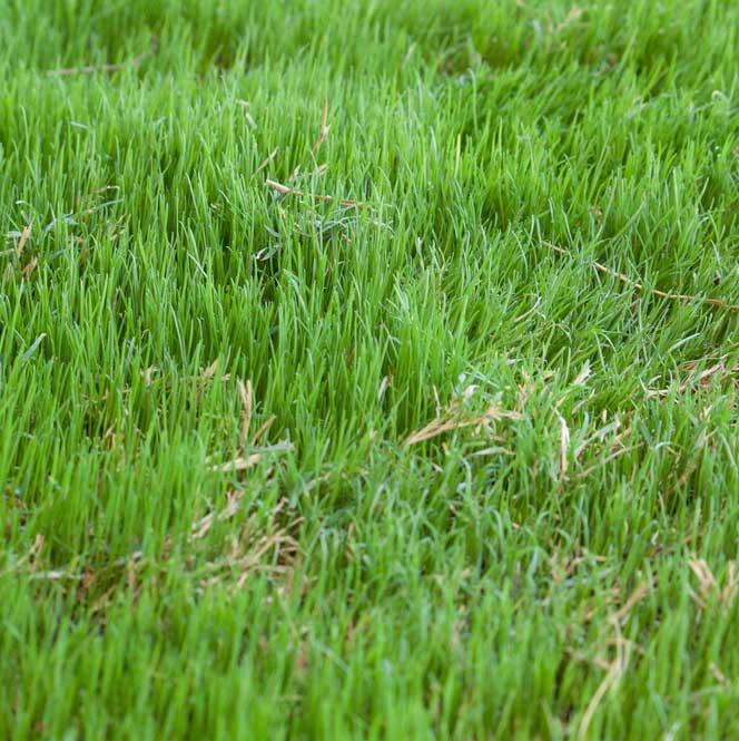 Bermudagrass image