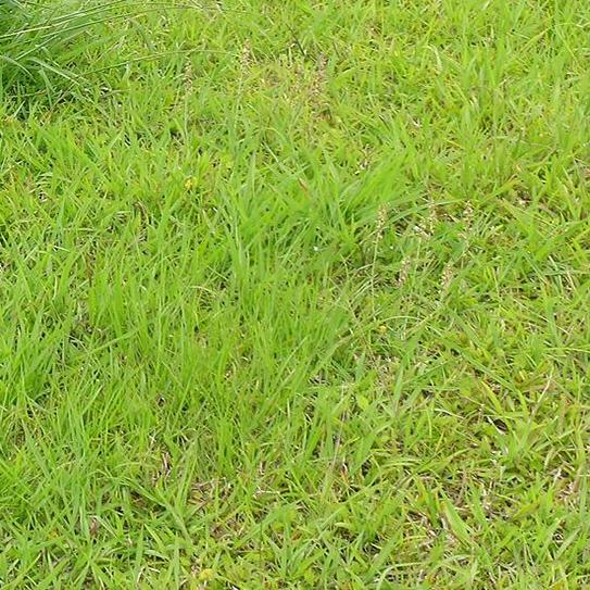 Dallisgrass image