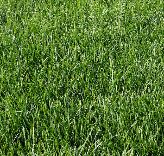 Kentucky bluegrass image