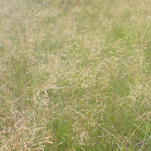 Meadow Fescue image