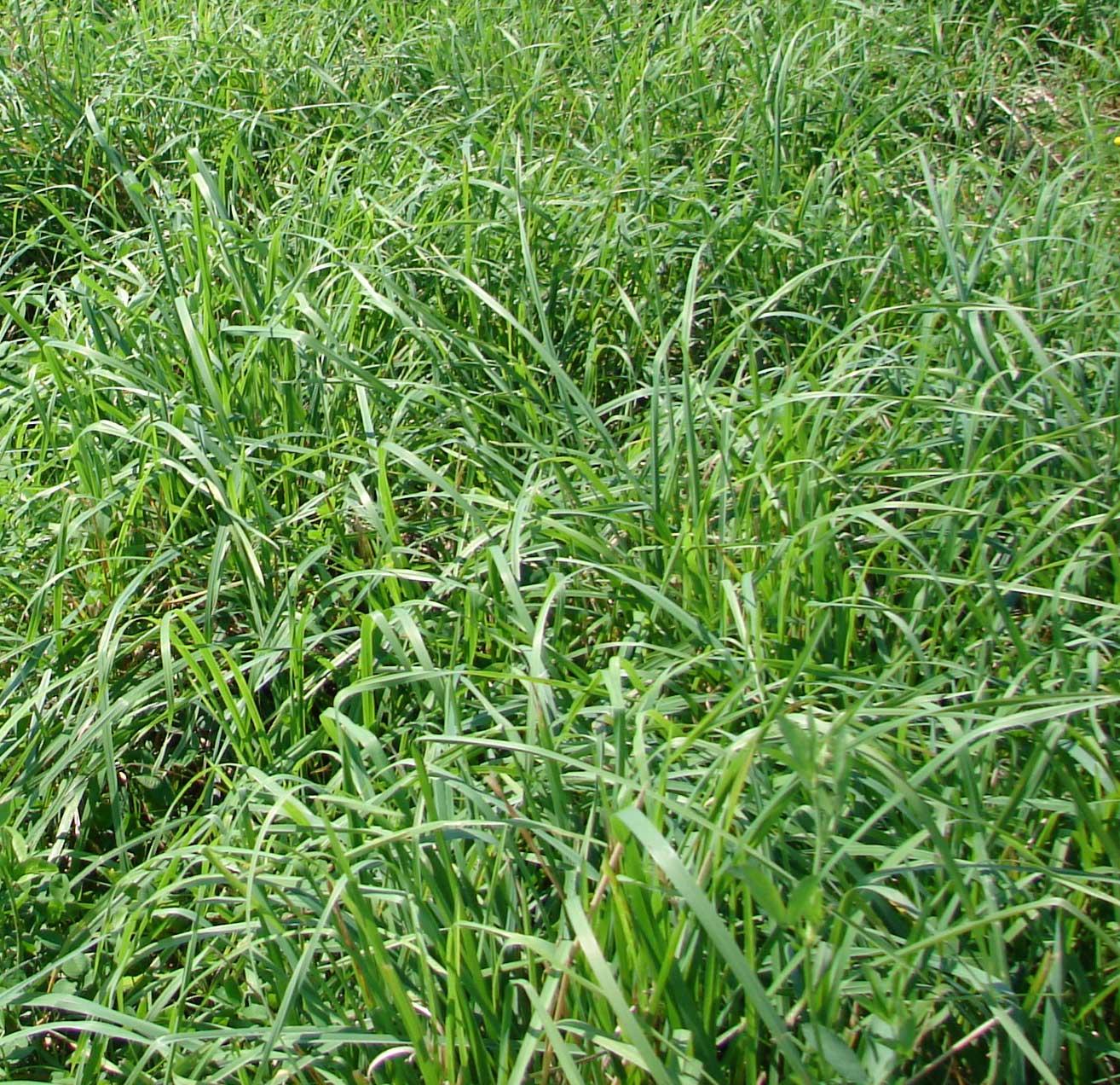 Orchardgrass image