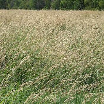 Reed Canarygrass image