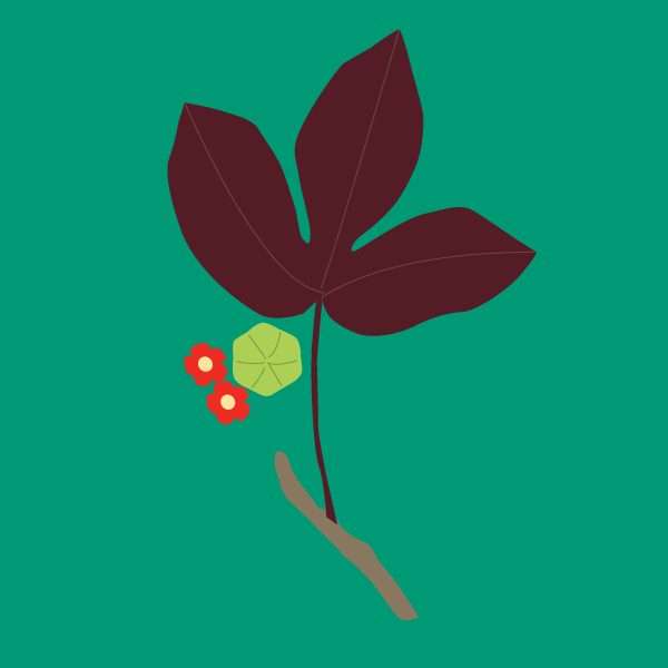 Jatropha gossypifolia image