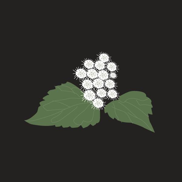 Ageratina adenophora image