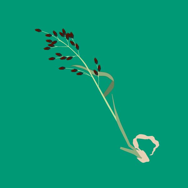 Festuca arundinacea image