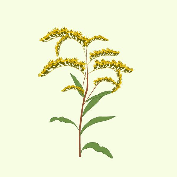 Haplopappus heterophyllus image