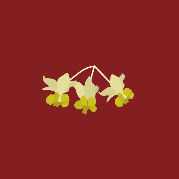 Gomphocarpus fruticosus image