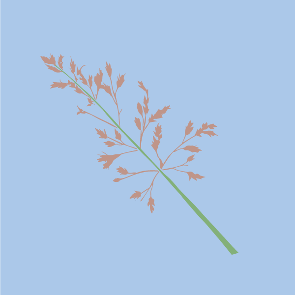 johnson_grass