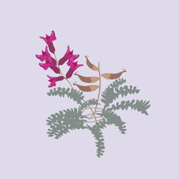 Astragalus & Oxytropis image