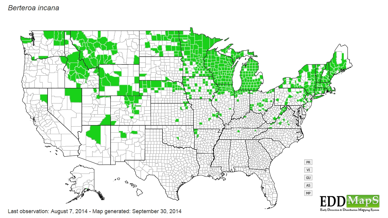 Hoary alyssum distribution - United States
