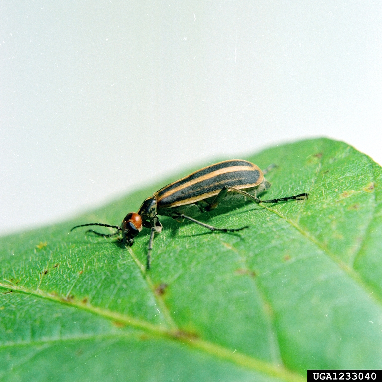 PHOTO CREDIT: Clemson University - USDA Cooperative Extension Slide Series, Bugwood.org