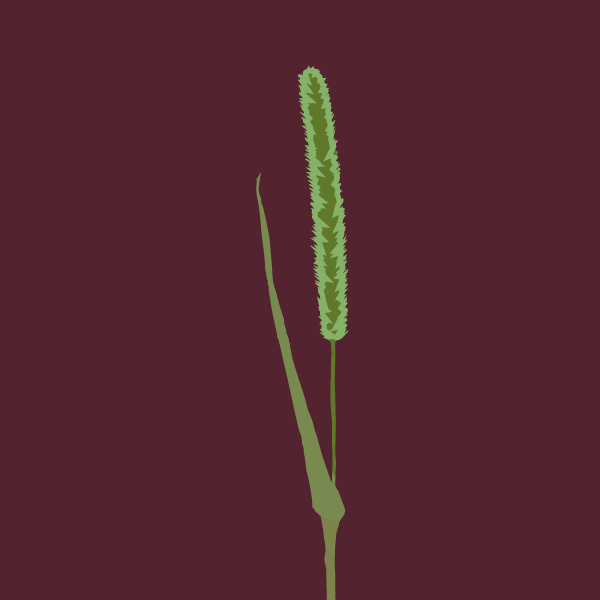 image of Green foxtail
