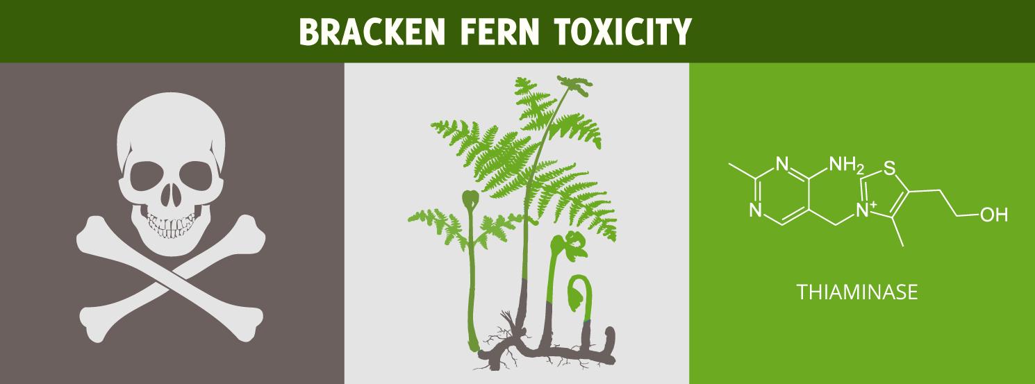 Bracken Fern Toxicity