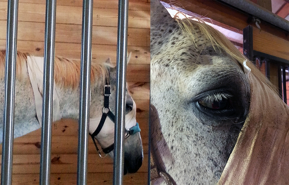 Gambler's Post Surgical Recovery in Tryon Equine's New Recovery Barn