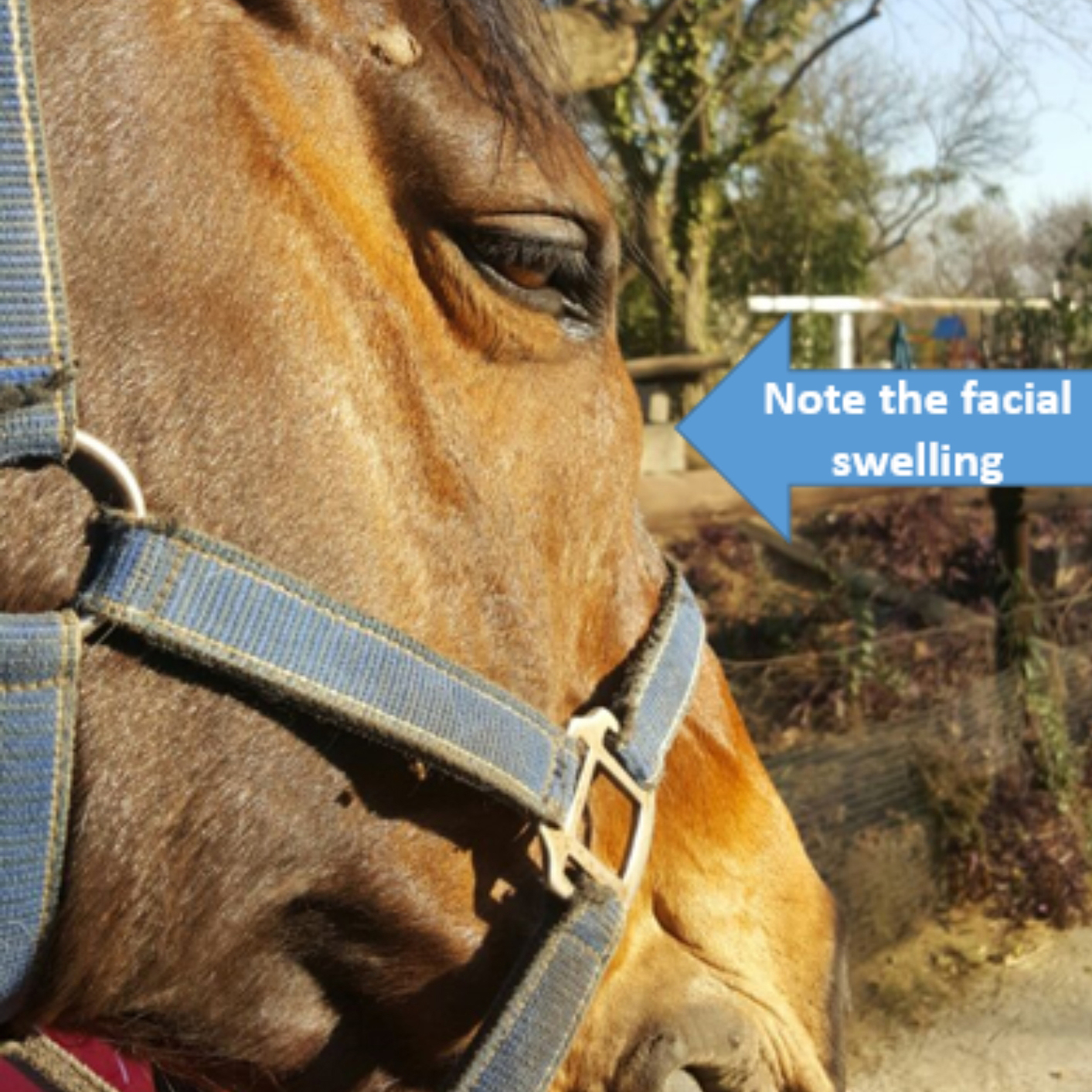 Apologise, equine facial swelling magnificent