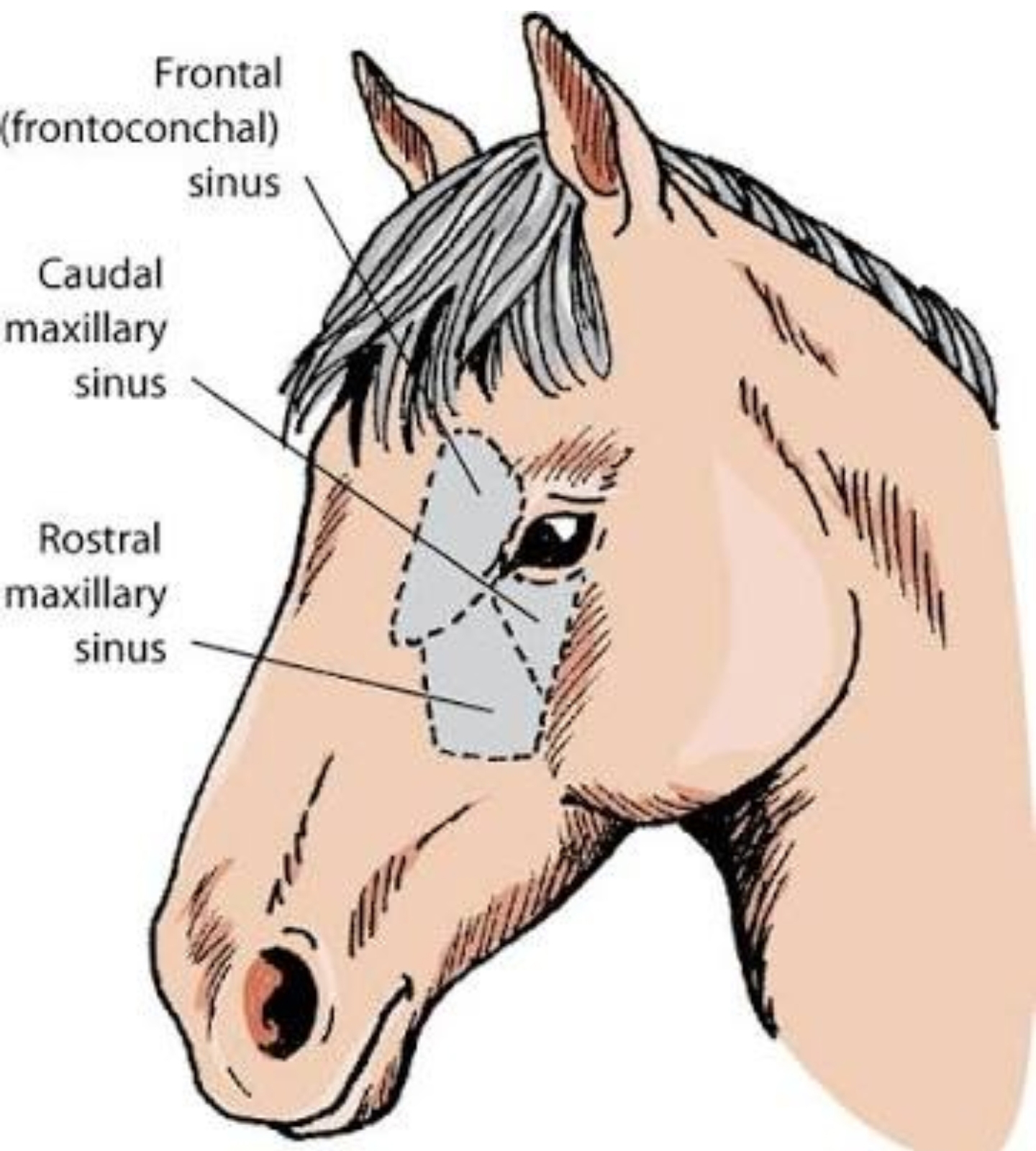 Horse Sinuses Illustration